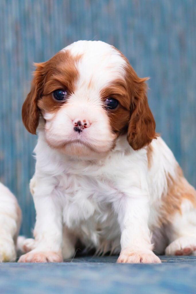Cute Cavalier King Charles Spaniel Pups