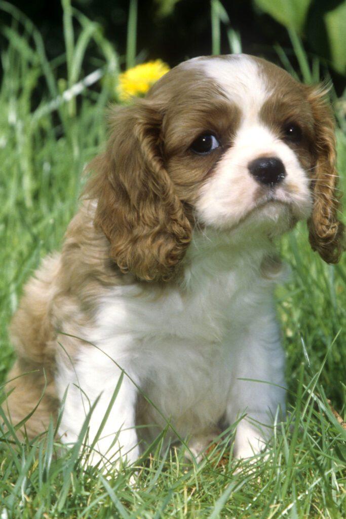 Cute Cavalier Puppies