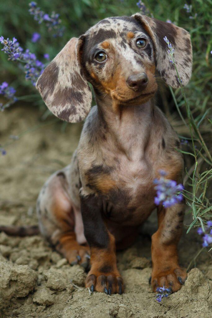 Cute Dapple Dachshund Dogs