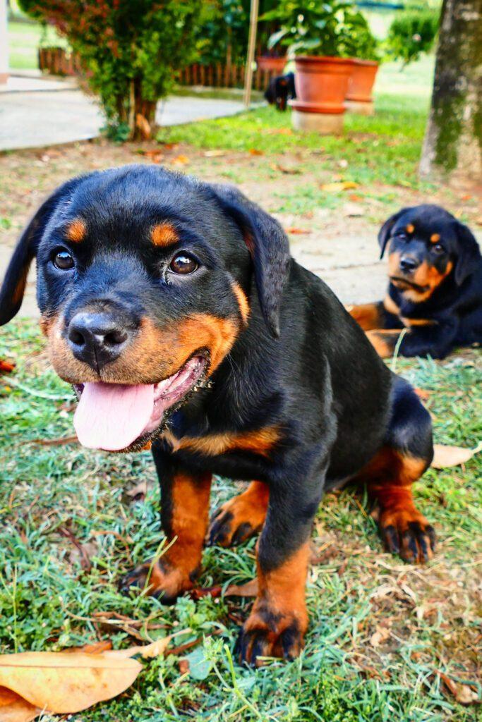 Cute Rottweiler Puppies