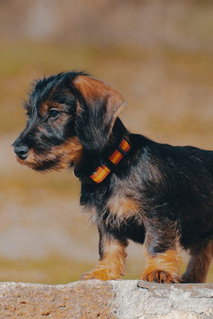 Cute Wirehaired Dachshund Puppy