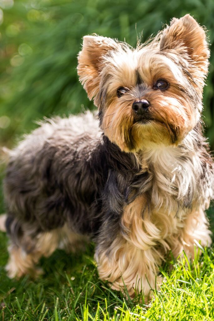 Cute Yorkshire Terrier Dogs