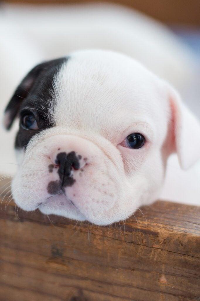 Cutest French Bulldog Puppies