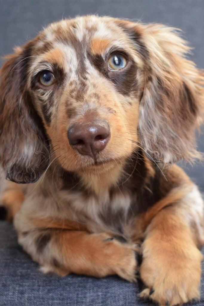 Dapple Dachshund Dog