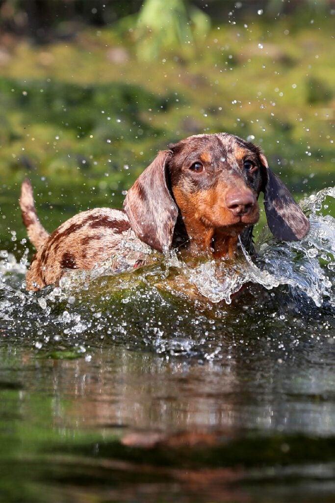Dapple Dachshund SSwimming