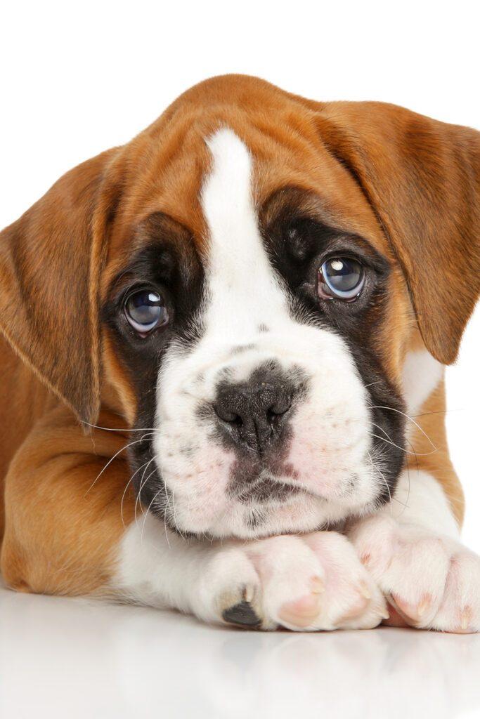 Eyes of boxer dog