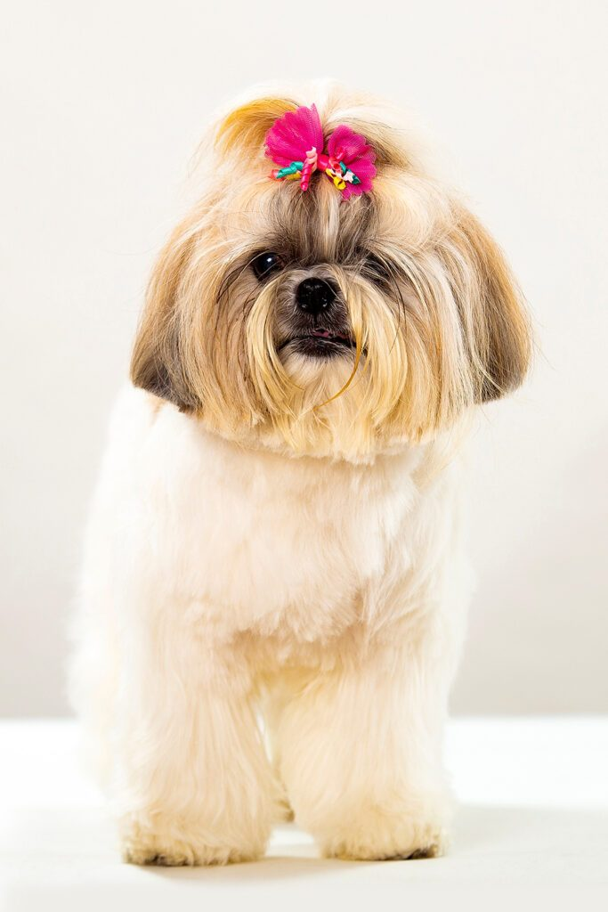 Female Shih Tzu Dog