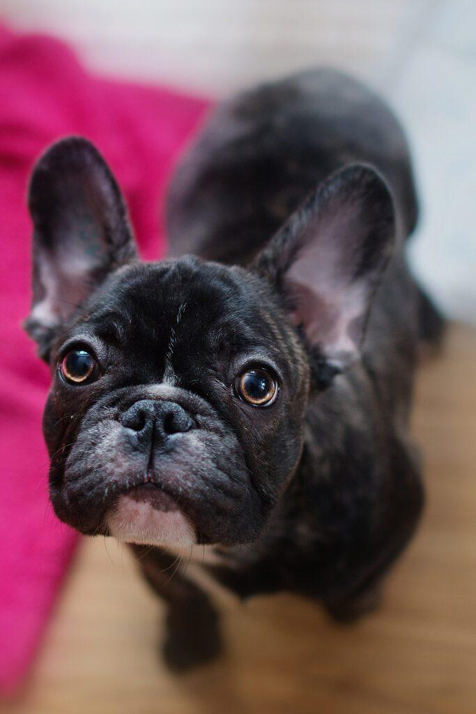 French Bulldog Puppies Brindle