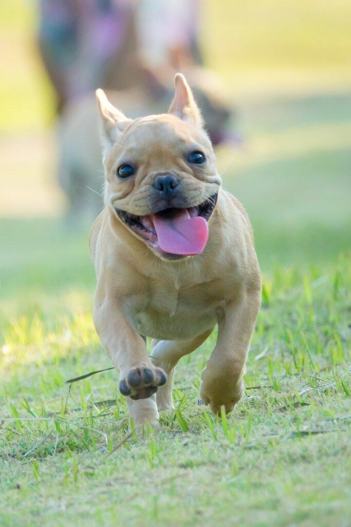 Frenchie Running