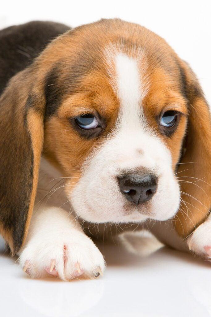 Funny Beagle Puppies