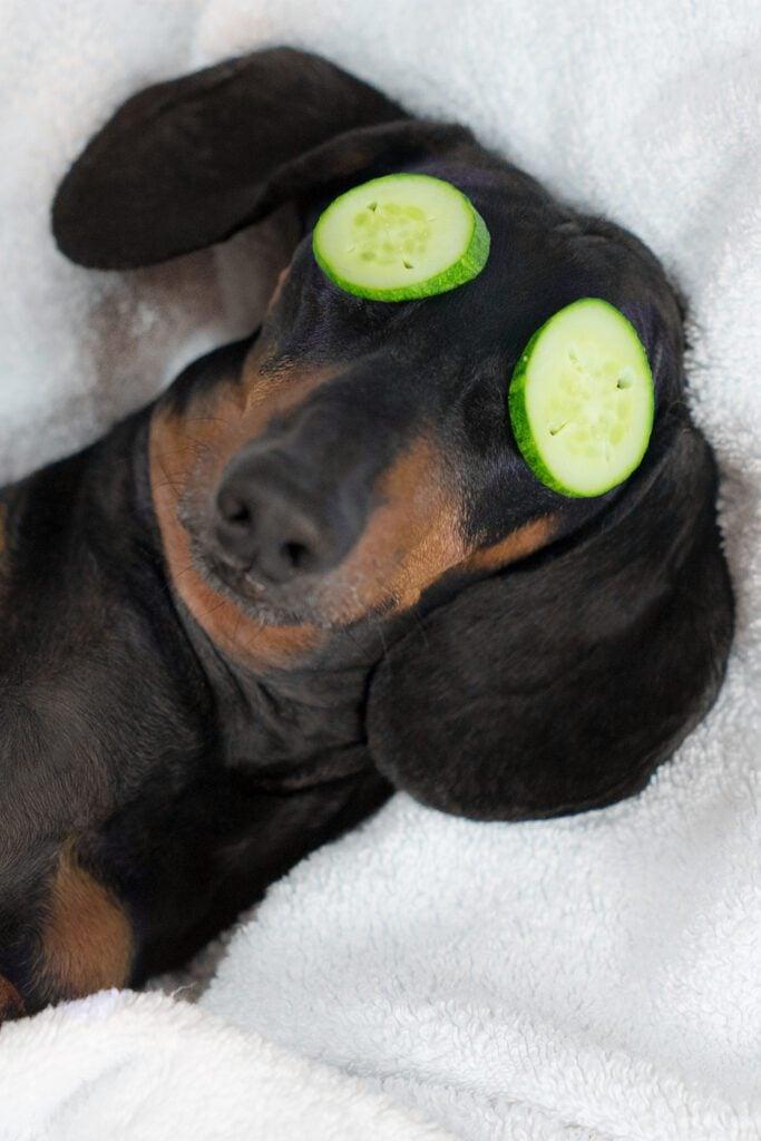 Funny Cute Dachshund