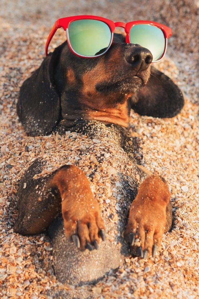 Funny Dachshund At The Beach