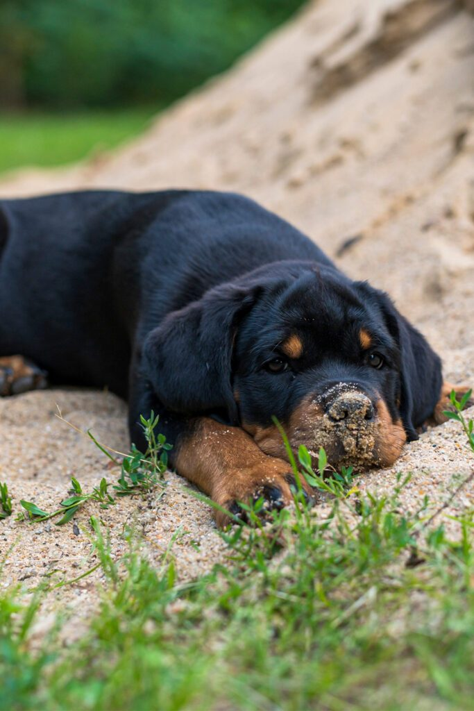 Funny Rottweiler Puppy