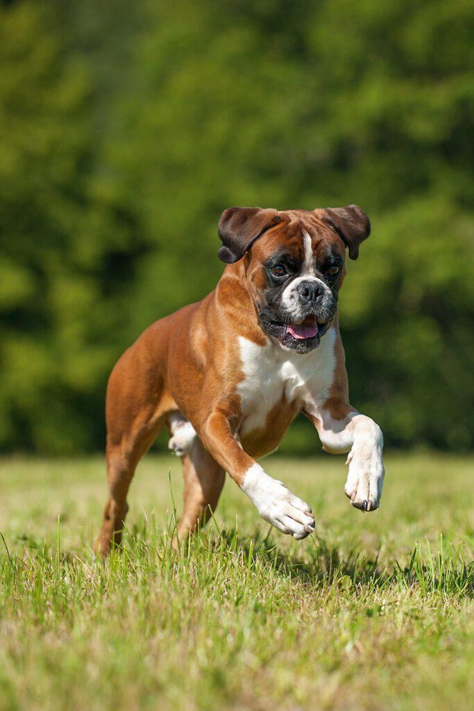 German Boxer Running