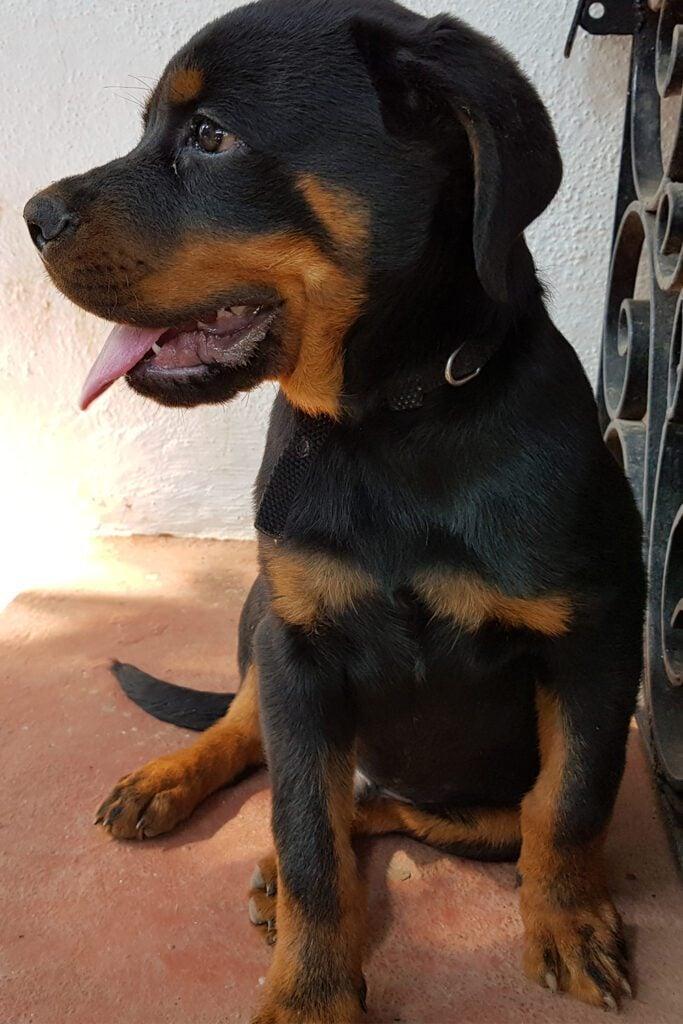 German Rottweiler Puppy