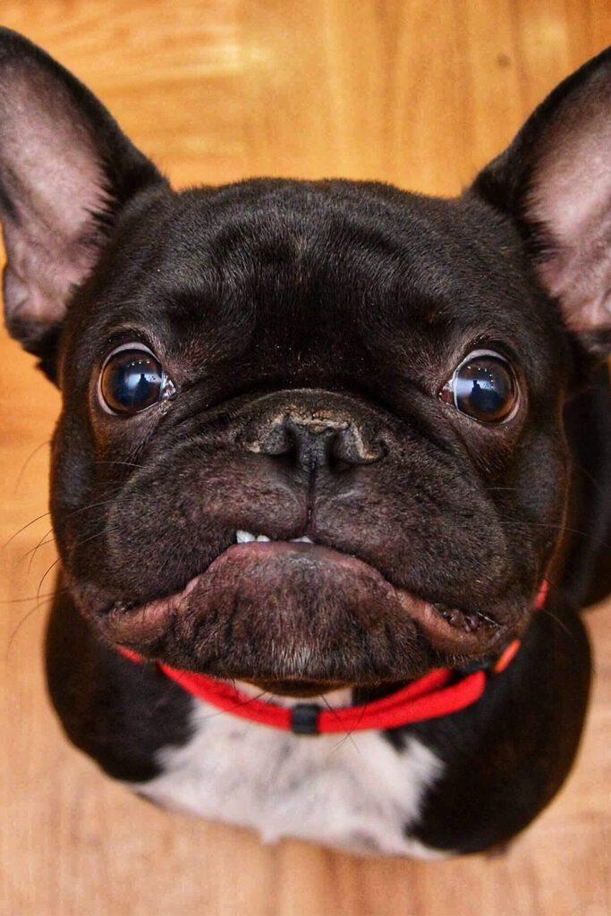 Grumpy French Bulldog