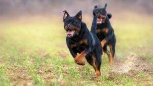 How Fast Can A Rottweiler Run