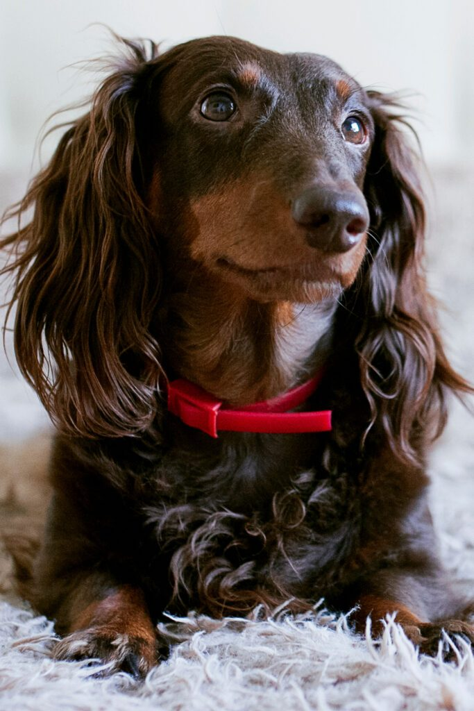 Longhaired Black and Tan Dachshund
