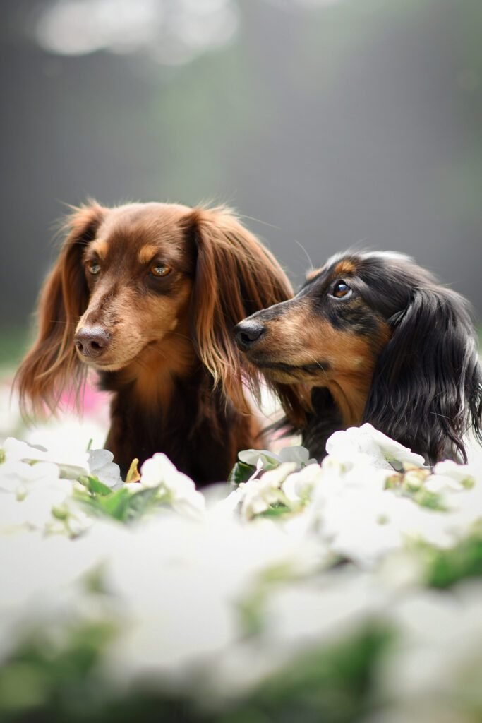 Longhaired Dachshund Dogs