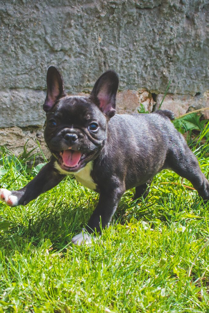 Merle French Bulldog Puppy