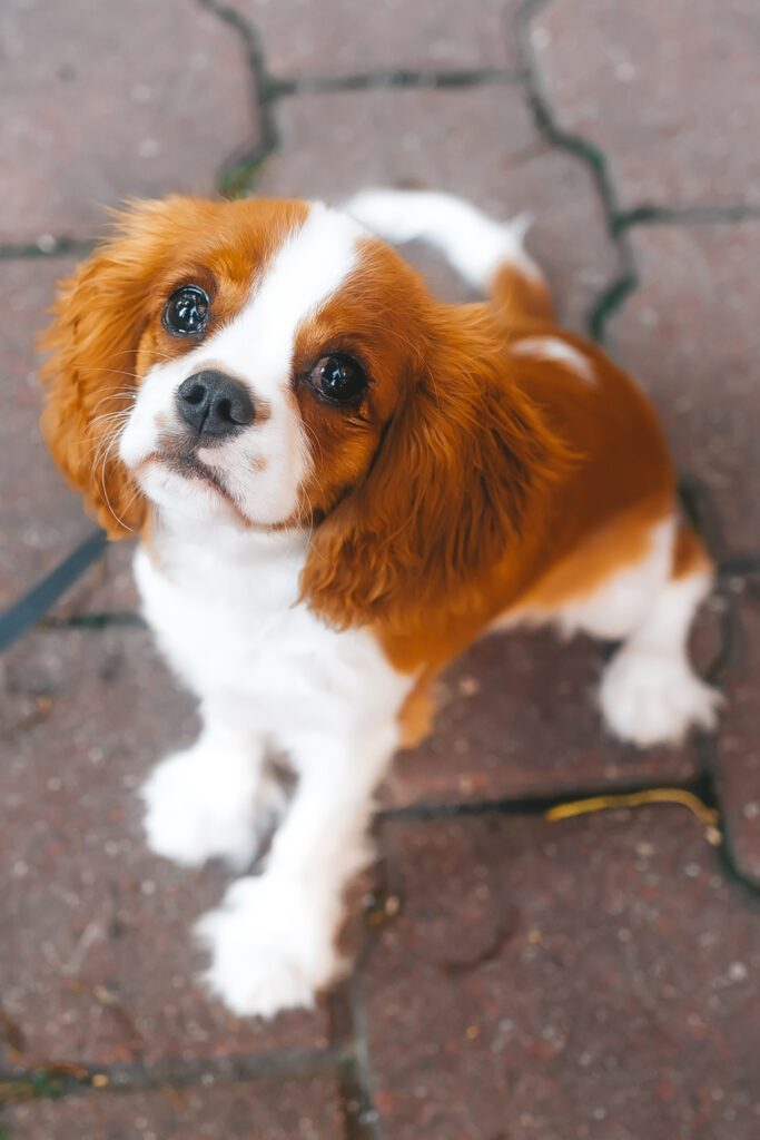 Red Cavalier King Charles Spaniel Puppy