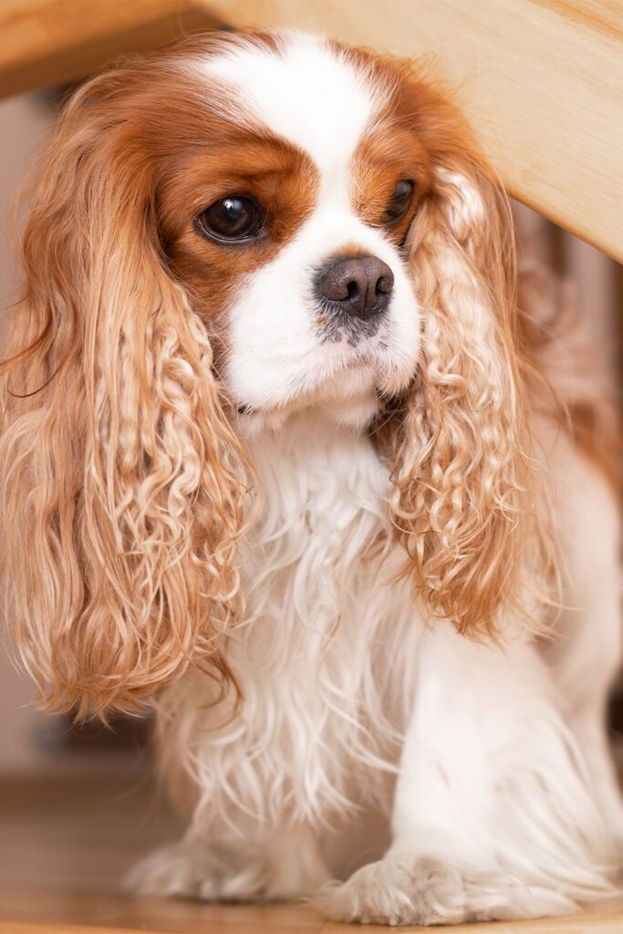 Red Cavalier King Charles Spaniel Pups
