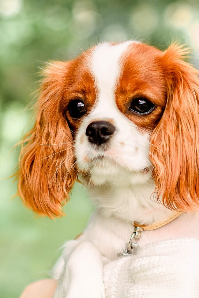 Ruby Cavalier King Charles Spaniel Puppies