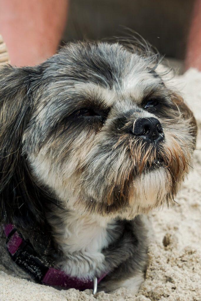 Shih Tzu Dog At The Beach