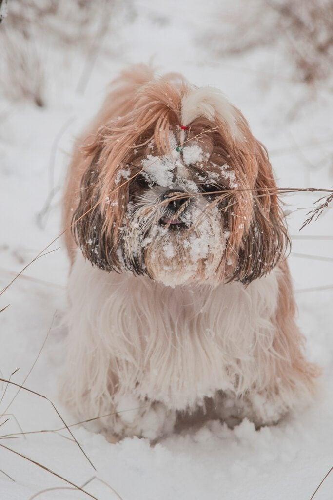 Shih Tzu Dog In The Snow