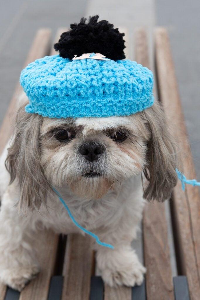 Shih Tzu Dog With hat