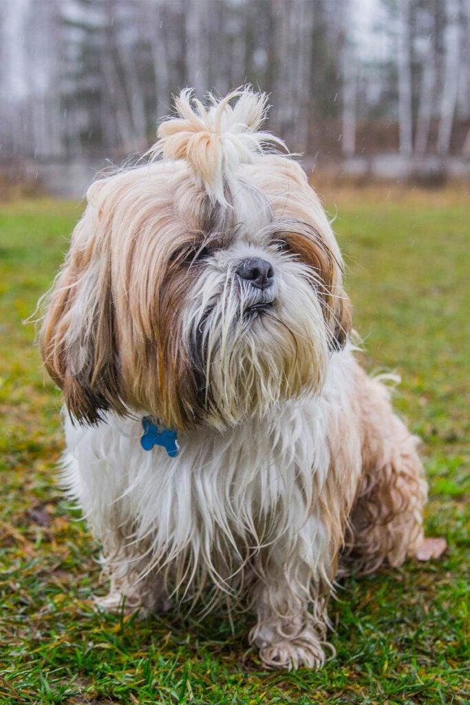 Shih Tzu Puppy Haircuts