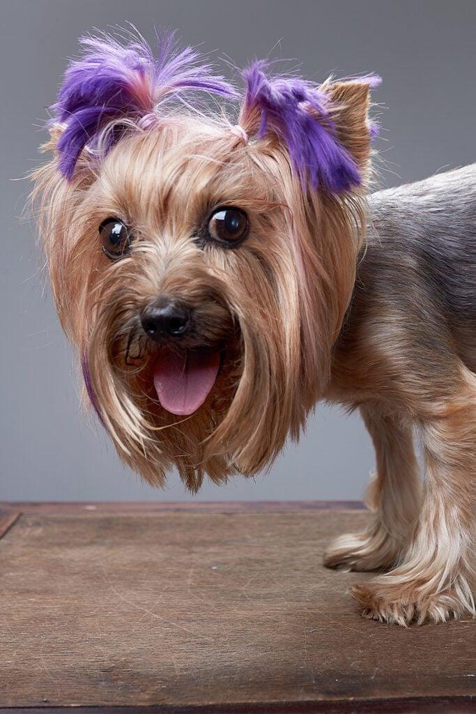 Strange Yorkshire Terrier Haircuts