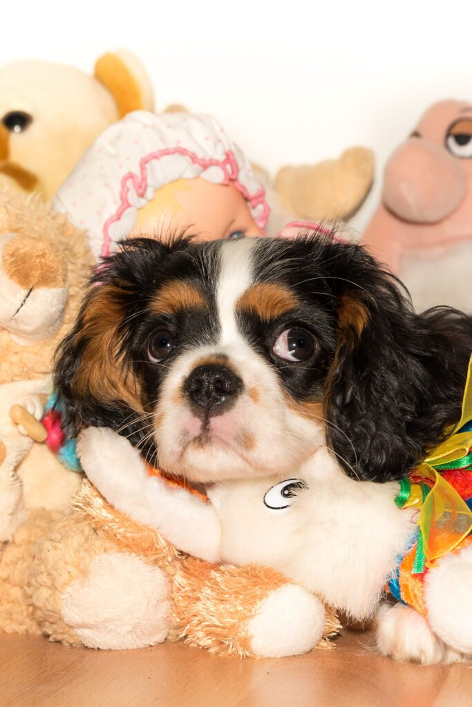 Tri Cavalier King Charles Spaniel Pup