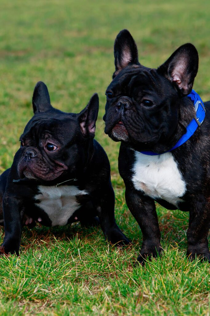 Two Black French Bulldogs