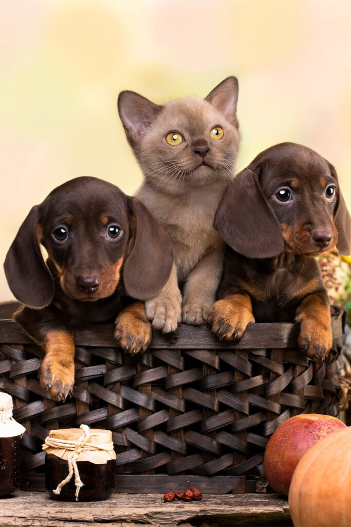 Two Dachshund Puppies With Kitten