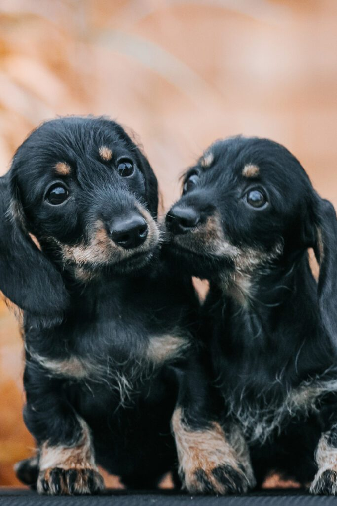Two Long Haired Dachshund Puppies
