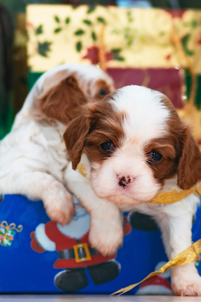 Two Newborn Red Cavalier King Charles Spaniels