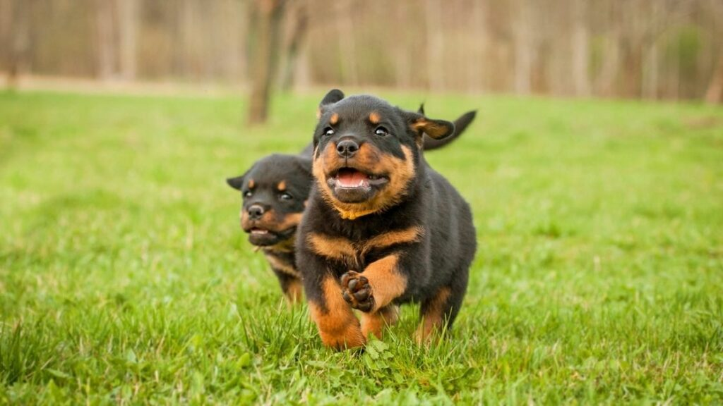 What Age Can a Rottweiler Start Running