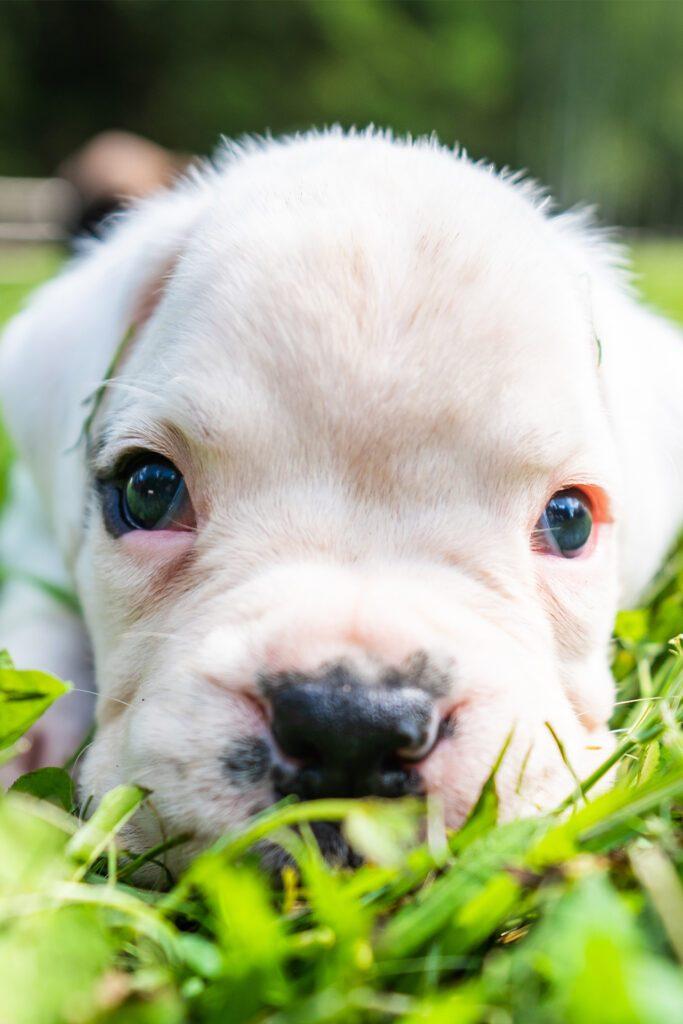 White Boxer Puppy