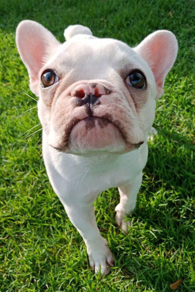 White French Bulldog Puppies