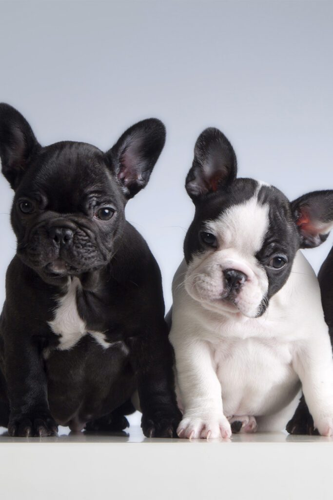 White and Black French Bulldogs
