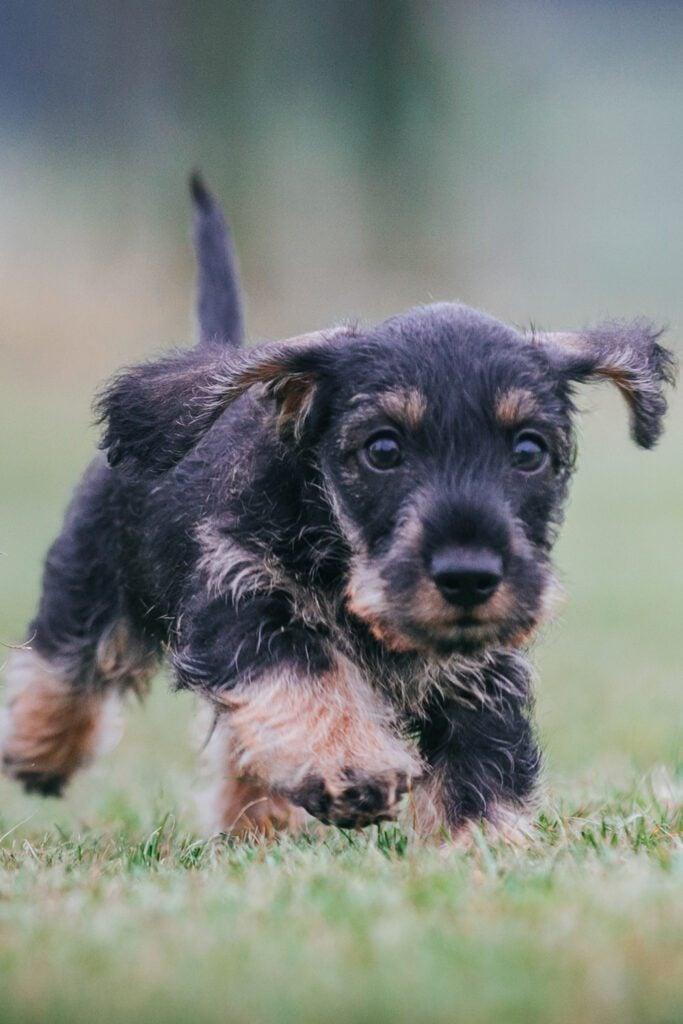 Wirehaired Dachshund Puppy