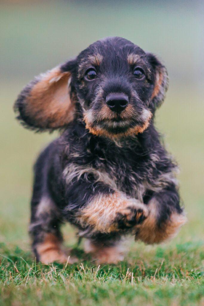 Wirehaired Dachshund Puppy Running