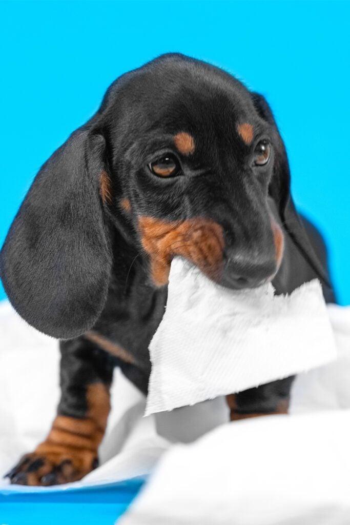 Wrinkly Dachshund Puppy