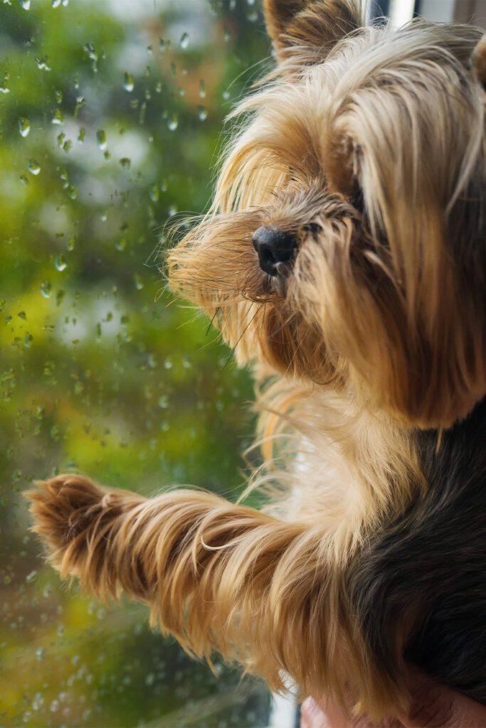Yorkshire Terrier At Window