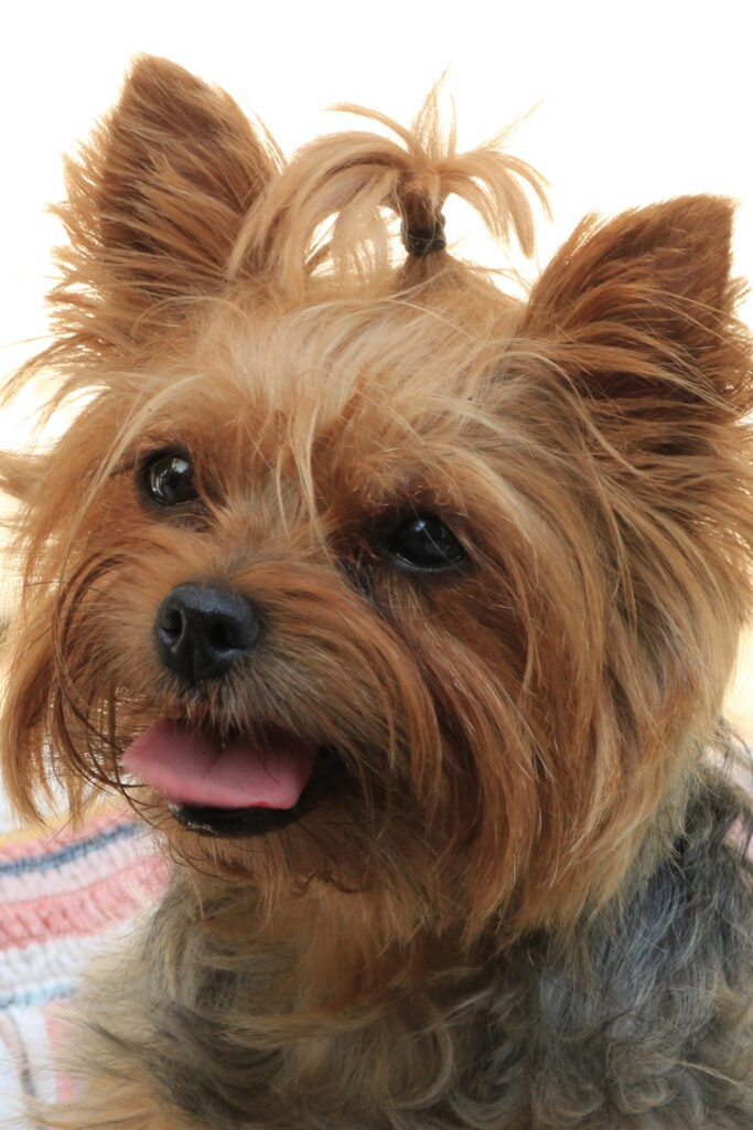 Yorkshire Terrier Cute