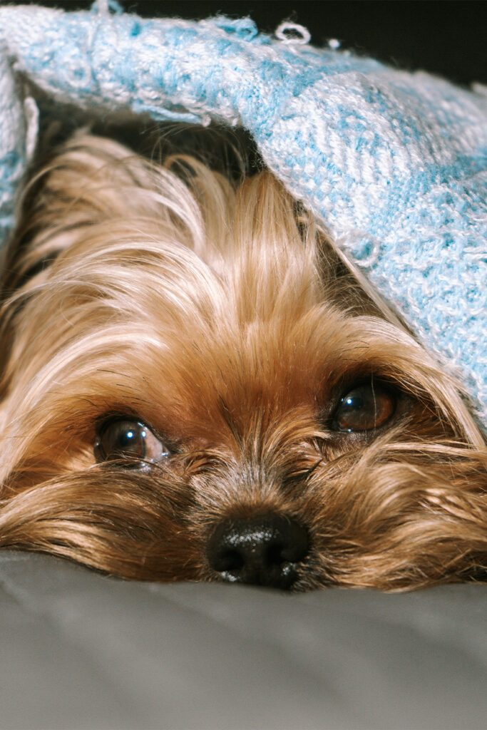 Yorkshire Terrier Eyes