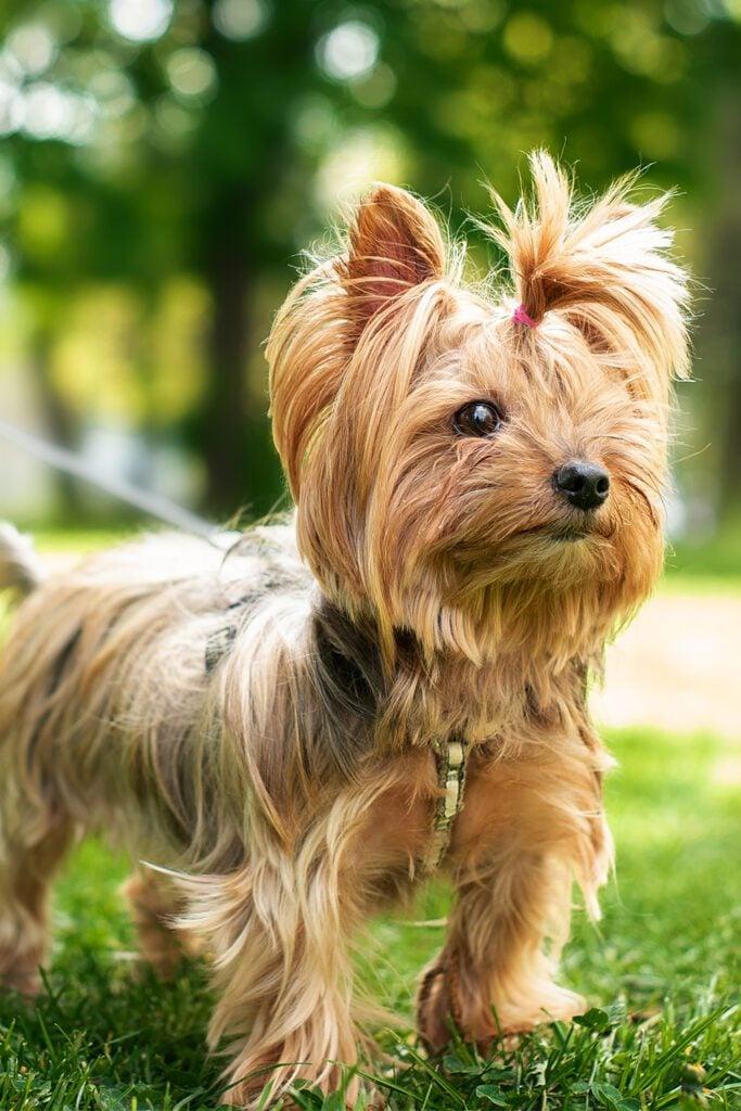 Yorkshire Terrier Full Grown
