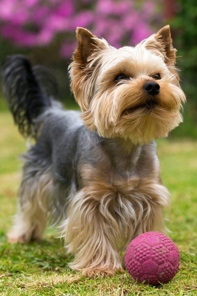 Yorkshire Terrier Haircut Boy
