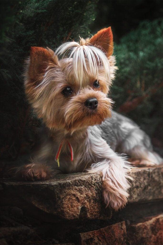 Yorkshire Terrier Haircut Hairstyles